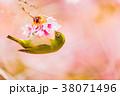 メジロ 寒桜 38071496