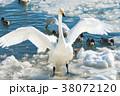 快晴の越冬地でくつろぐ白鳥 38072120