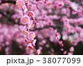 梅の花 38077099