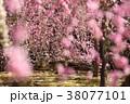梅の花 38077101