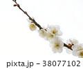 梅の花 38077102
