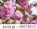 pink blossomed sakura flowers with blur 38078013