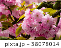 pink blossomed sakura flowers with blur 38078014