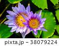 咲く 花 開花の写真 38079224