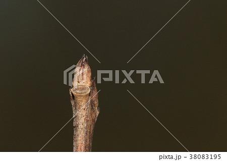 自然 植物 サルスベリ、冬芽と葉痕。よく見ると枝には小さな翼のようなものが見えます 38083195