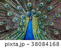 孔雀のポートレート 38084168