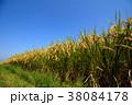 稲穂 青空 稲の写真 38084178