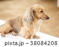 動物 犬 ミニチュアダックスフンドの写真 38084208