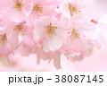 春爛漫 38087145