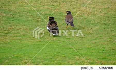 ハワイの鳥 マイナ・バードの求愛 38088960