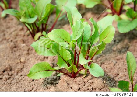 Beet growing in field 38089422