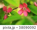 植物 花 カリンの写真 38090092