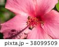 マロウ マロー 熱帯産の写真 38099509
