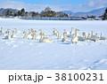 冬 鳥類 白鳥の写真 38100231