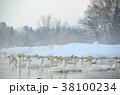 冬 鳥類 白鳥の写真 38100234