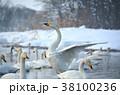 冬 鳥類 白鳥の写真 38100236