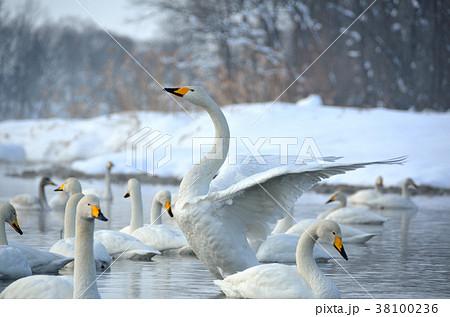 白鳥 38100236