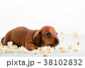 Dachshund Dog puppy Salt Pop corn  38102832