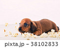 Dachshund Dog puppy Salt Pop corn  38102833