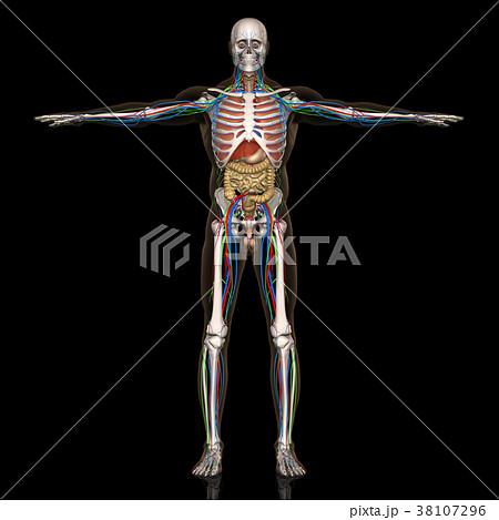 人体解剖図(男性) 38107296