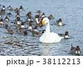 白鳥 オナガガモ 冬の写真 38112213