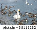 白鳥 オナガガモ 冬の写真 38112232