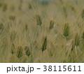 収穫の時を待つ麦の穂 38115611
