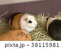 大牟田市動物園 モルモット 38115981