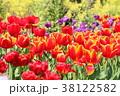 チューリップ 花 鬱金香の写真 38122582