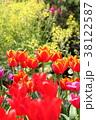 チューリップ 花 鬱金香の写真 38122587