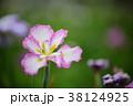 花 花菖蒲 菖蒲の写真 38124925