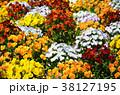 花 ビオラ 花壇の写真 38127195