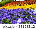 花 ビオラ 花壇の写真 38128312