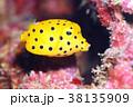 ミナミハコフグ  幼魚 38135909