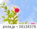 寒椿 植物 椿の写真 38136376