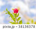 寒椿 植物 椿の写真 38136378