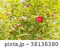 寒椿 植物 椿の写真 38136380