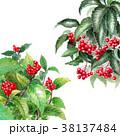 水彩 万両 植物のイラスト 38137484