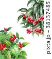 水彩 万両 植物のイラスト 38137485
