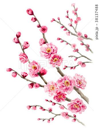 水彩で描いたピンクの八重咲きの梅 38137488