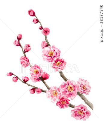 水彩で描いたピンクの八重咲きの梅 38137540