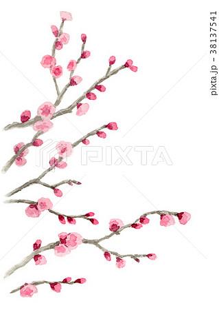 水彩で描いたピンクの八重咲きの梅 38137541