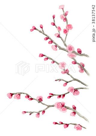 水彩で描いたピンクの八重咲きの梅 38137542