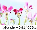 ビオラ 花 ラビットビオラの写真 38140531