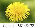 タンポポ セイヨウタンポポ 花の写真 38145472