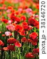 ポピー 雛罌粟 花の写真 38146720