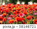 ポピー 雛罌粟 花の写真 38146721