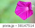 クローズアップ 花 植物の写真 38147514