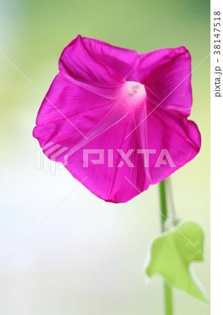 アサガオ 赤花 クローズアップ 38147518