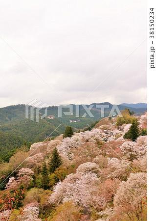 奈良県 吉野山の桜 38150234